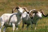 Owca Dalla, Ovis dalli, Dall Sheep