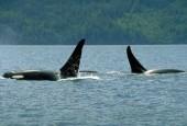 Orka,Orcinus orca,killer whale