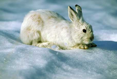 Zając amerykański, Lepus americanus, Snowshoe Hare