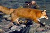 Lis rudy, red fox, Vulpes vulpes