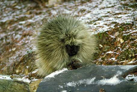 Urson, Erethizon dorsatum, North American Porcupine, Canadian Porcupine