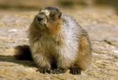 Świszcz, groundhog, Marmota monax