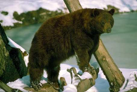 Niedźwiedź brunatny, Ursus arctos, brown bear