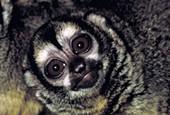 Lori kukang, Nycticebus coucang, Sunda Slow Loris, Greater Slow Loris