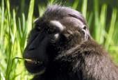 Makak czubaty, Macaca nigra, Celebes Crested Macaque