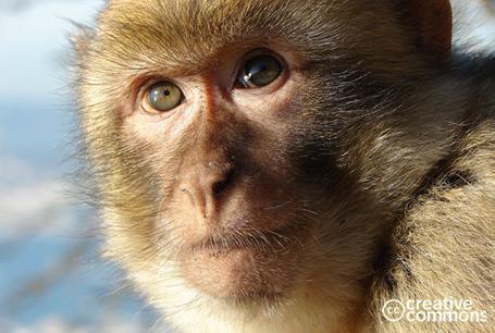 Makak magot, Macaca sylvanus, Barbary Macaque