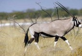 Oryks południowy, Oryx gazella, gemsbok, gemsbuck