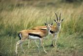 Tomi, Gazella thomsonii, Thomson\'s gazelle