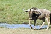 Gnu pręgowane, Connochaetes taurinus, Blue Wildebeest