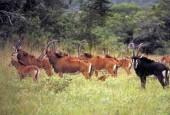 Antylopa szabloroga, Hippotragus niger, Sable Antelope