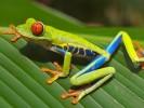 Chwytnica kolorowa, Agalychnis callidryas, Red-eyed Treefrog