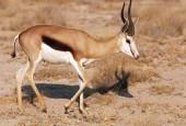 Szpringbok, Antidorcas marsupialis, Springbok