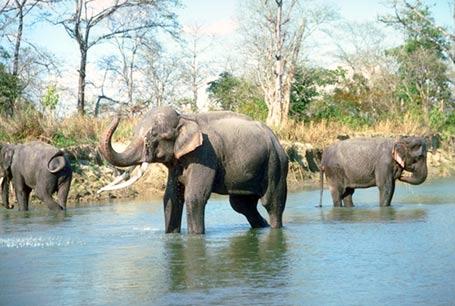 Słoń Indyjski, Elephas maximus, Asiatic Elephant
