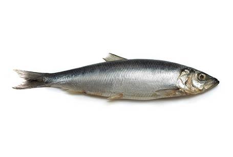 Śledź atlantycki, Clupea harengus, Atlantic herring