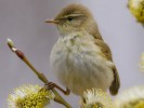 Piecuszek, Phylloscopus trochilus, Willow Warbler