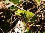 Rzekotka drzewna, Hyla arborea, European tree frog