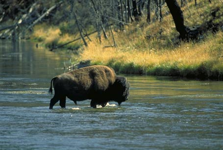 Bizon, Bison bison, American bison