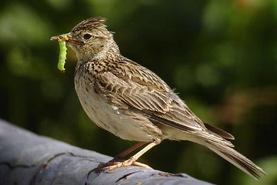 Skowronek zwyczajny (Alauda arvensis), By Daniel Pettersson [CC BY-SA 2.5 se or CC BY-SA 2.5], via Wikimedia Commons