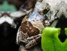 Rzekotka żabia, Phrynohyas resinifictrix, Amazon Milk Frog