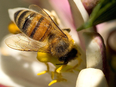 Pszczoła miodna (Apis mellifera). Photo courtesy PDPhoto.org, via Wikimedia Commons