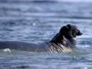 Słoń morski północny,Northern Elephant Seal, Mirounga angustirostris