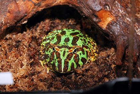 Żaba rogata, Ceratophrys ornata, Argentine Horned Frog