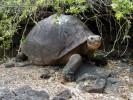 Żółw słoniowy, Geochelone nigra, Galápagos tortoise