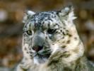 Pantera śnieżna,Uncia uncia,Snow Leopard