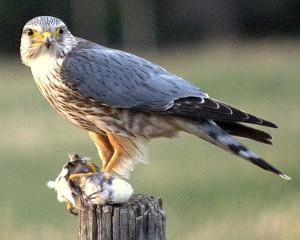 Drzemlik. By Just a Prairie Boy from Calgary, AB, Canada (Merlin: Whaddya mean share?) [CC BY 2.0], via Wikimedia Commons