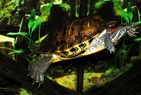 Żółw czerwonolicy, Trachemys scripts elegans, red-eared slider
