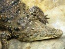 Krokodyl nilowy, Nile Crocodile, Crocodylus niloticus