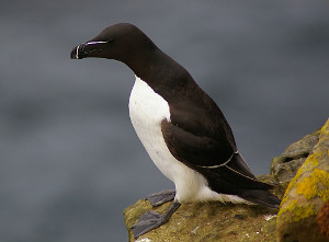 Alka. By jack_spellingbacon from Scotland (Razorbill3) [CC BY 2.0], via Wikimedia Commons
