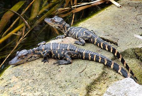 Aligator amerykański, Alligator mississippiensis,  American alligator