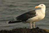 Mewa siodłata. By Len Blumin from Mill Valley, California, United States (Great Black-backed Gull) [CC BY 2.0], via Wikimedia Commons
