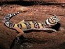 Gekon lamparci, Eublepharis macularius, leopard gecko