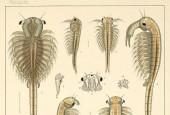 Branchinectidae
