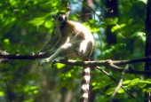 Lemurowate