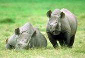 Nosorożcowate