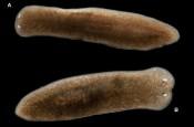 Dugesiidae