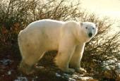 Niedźwiedziowate