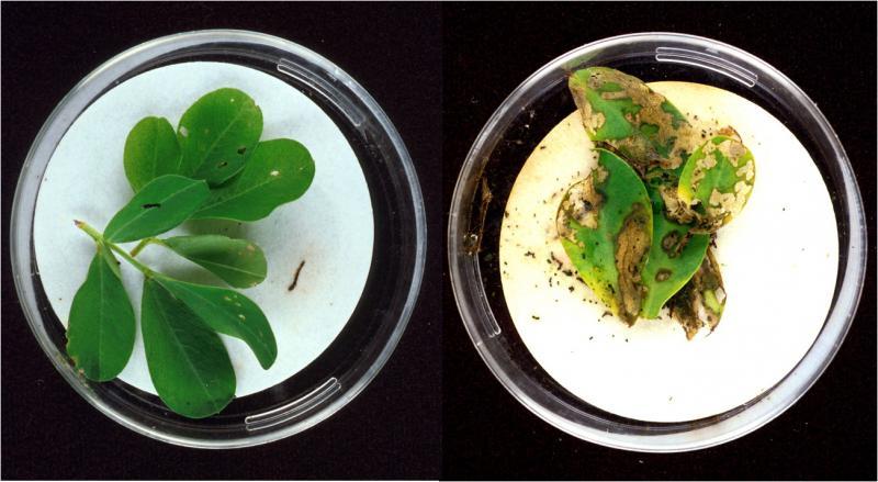 Toksyny Bt w liściach orzecha ziemnego