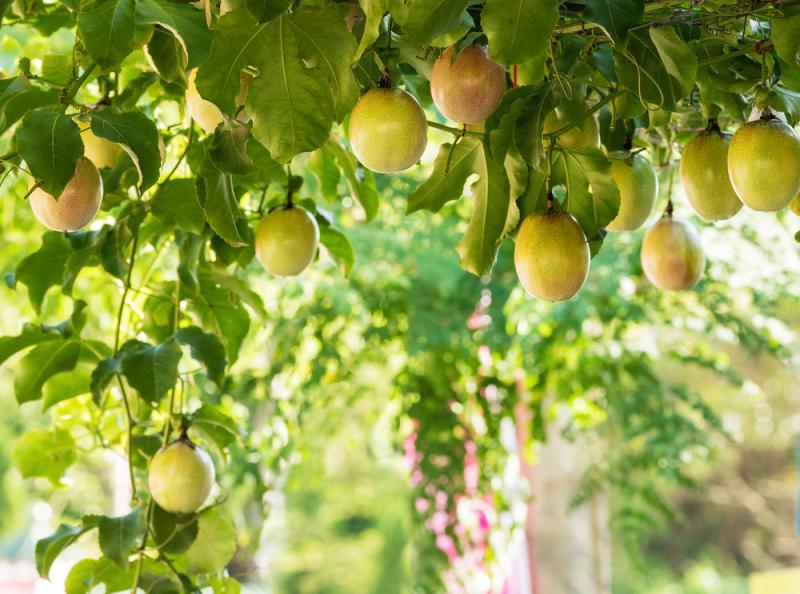 Marakuja owoc - właściwości, witaminy i wartości odżywcze marakui | ekologia.pl