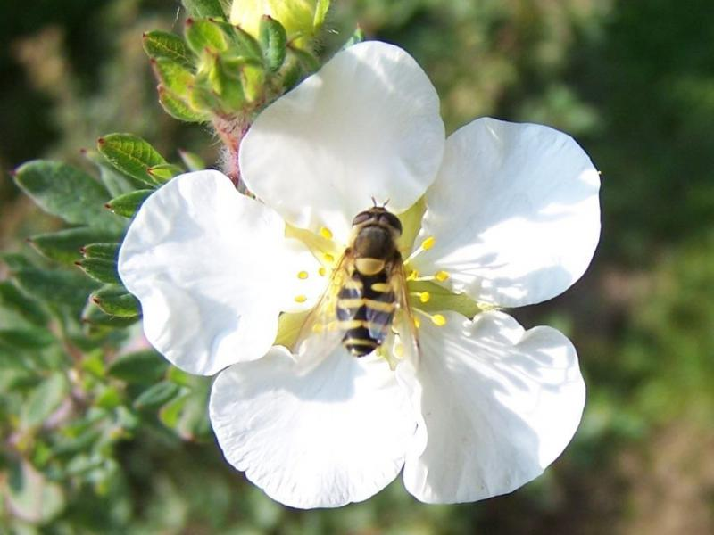 Muchówka zapylająca kwiat