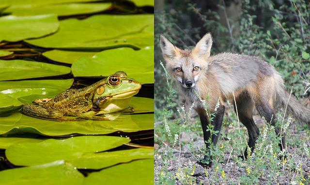 Detrytus – żaba – lis
