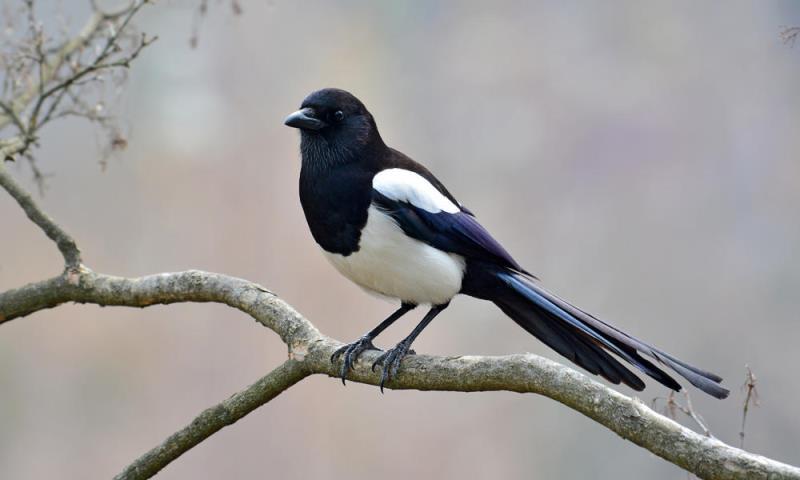 Sroka - opis, występowanie i zdjęcia. Ptak sroka ciekawostki