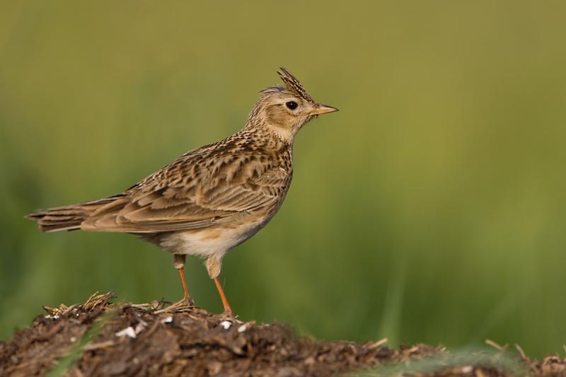 Skowronek – opis, występowanie i zdjęcia. Ptak skowronek ...