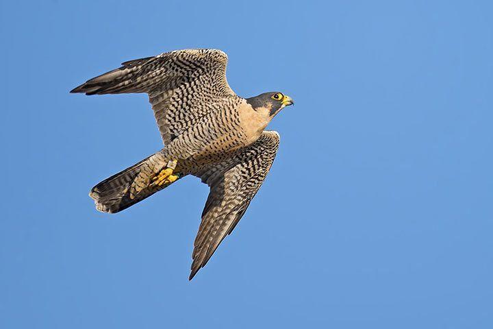 Sokół wędrowny – opis, występowanie i zdjęcia. Ptak sokół wędrowny ...