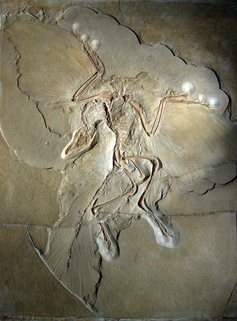 Szkielet i odciski piór archeopteryksa w Muzeum Historii Naturalnej w Berlinie