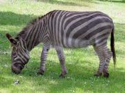 Fot.: Osioł w roli zebry