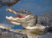 Fot.:  aligator (Stockphoto/Scott Winegarden)